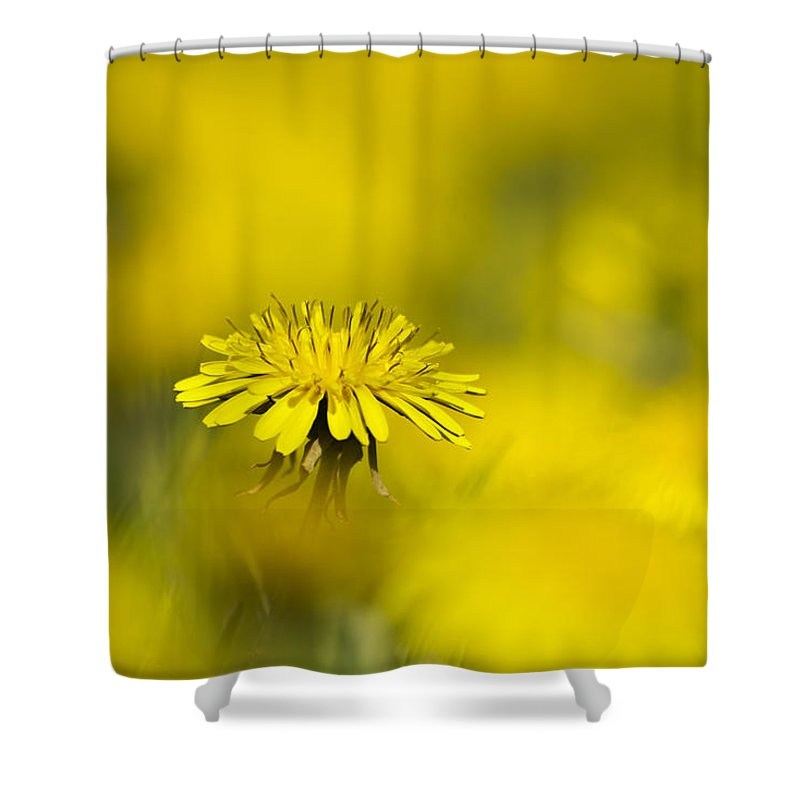 Yellow Shower Curtain featuring the photograph Yellow On Yellow Dandelion by Christina Rollo