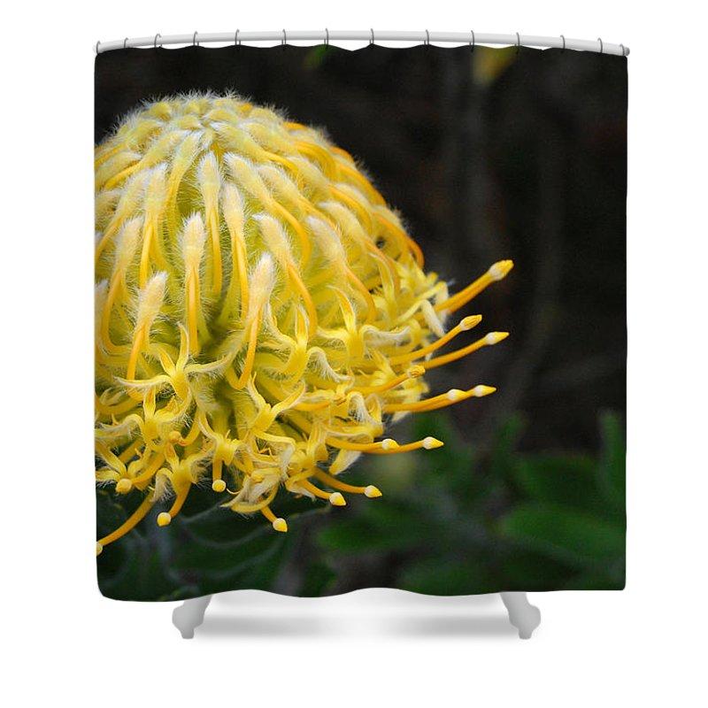 Kula Botanical Gardens Shower Curtain featuring the photograph Yellow Pincushion Protea by Amy Fose