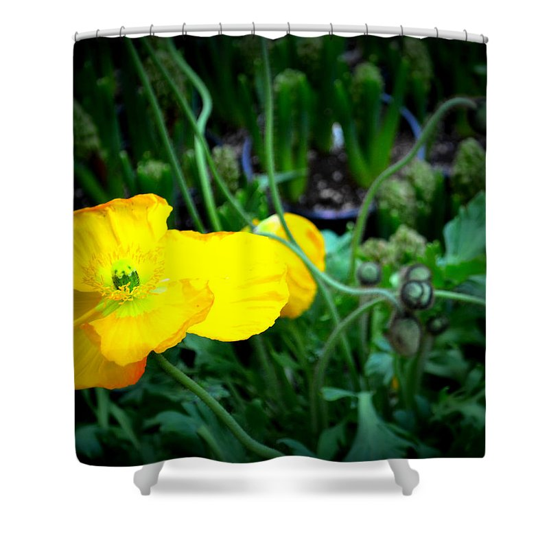 Yellow Poppy Shower Curtain featuring the photograph Yellow Poppy Xl Format Floral Photography by Katy Hawk