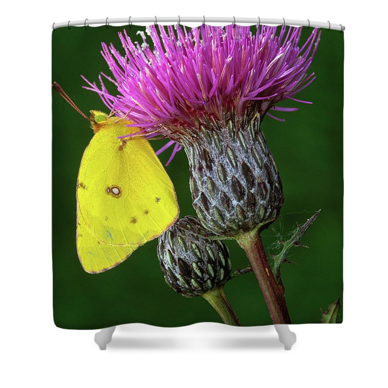 Sulfur Butterfly Shower Curtains