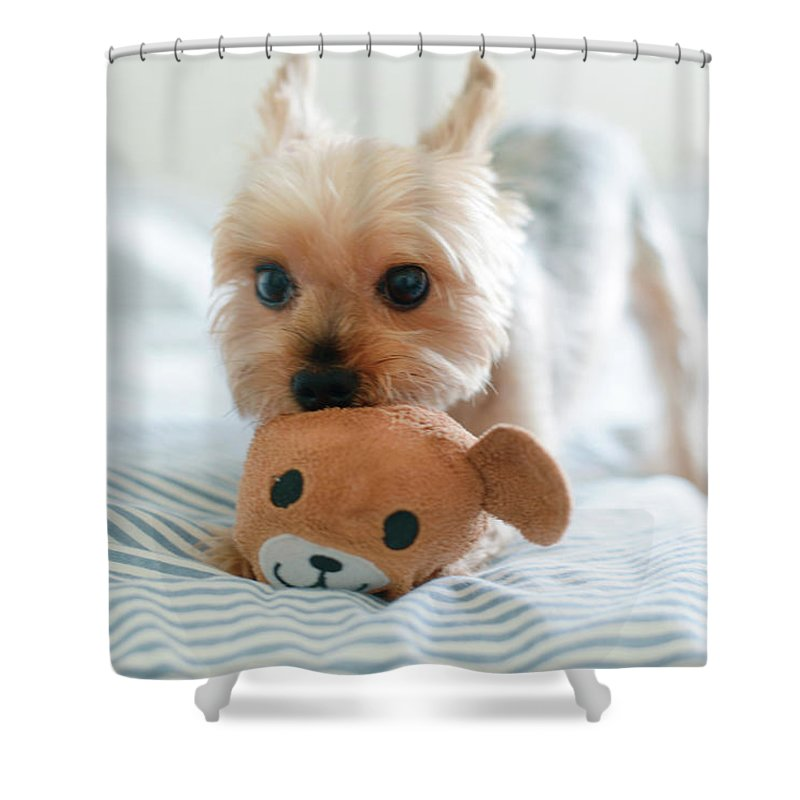 Pets Shower Curtain featuring the photograph Yorkie Playing With Teddy Toy by Cheryl Chan