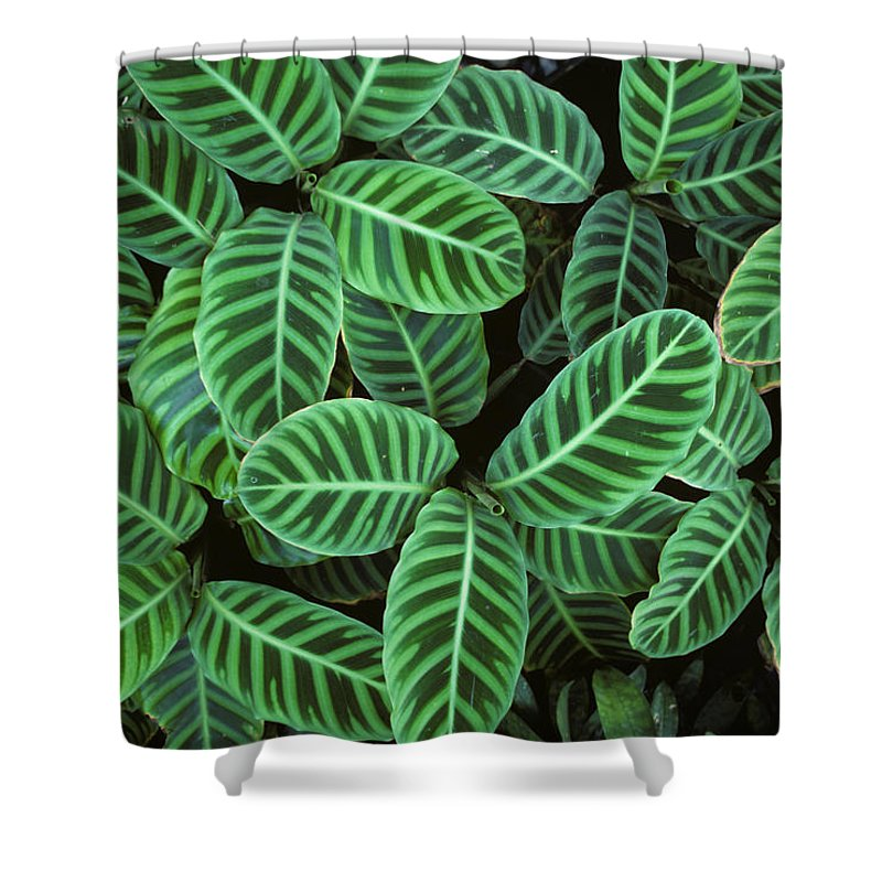 Flpa Shower Curtain Featuring The Photograph Zebra Plant Leaves Manila Philippines By Nigel Cattlin