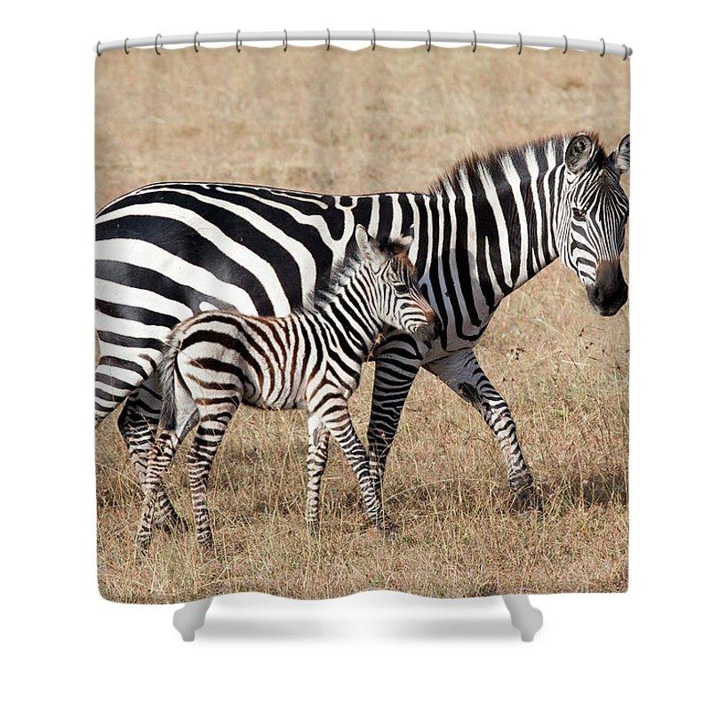 Kenya Shower Curtain featuring the photograph Zebra With Young Foal, Masai Mara by Angelika