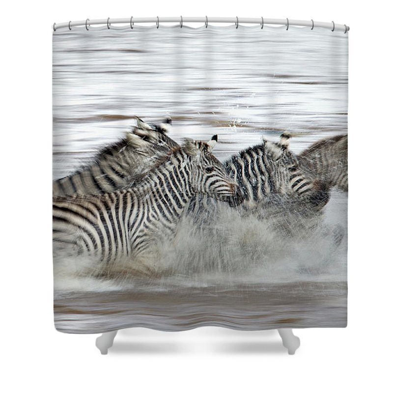 Plains Zebra Shower Curtain featuring the photograph Zebras Crossing The Mara River by Aditya Singh