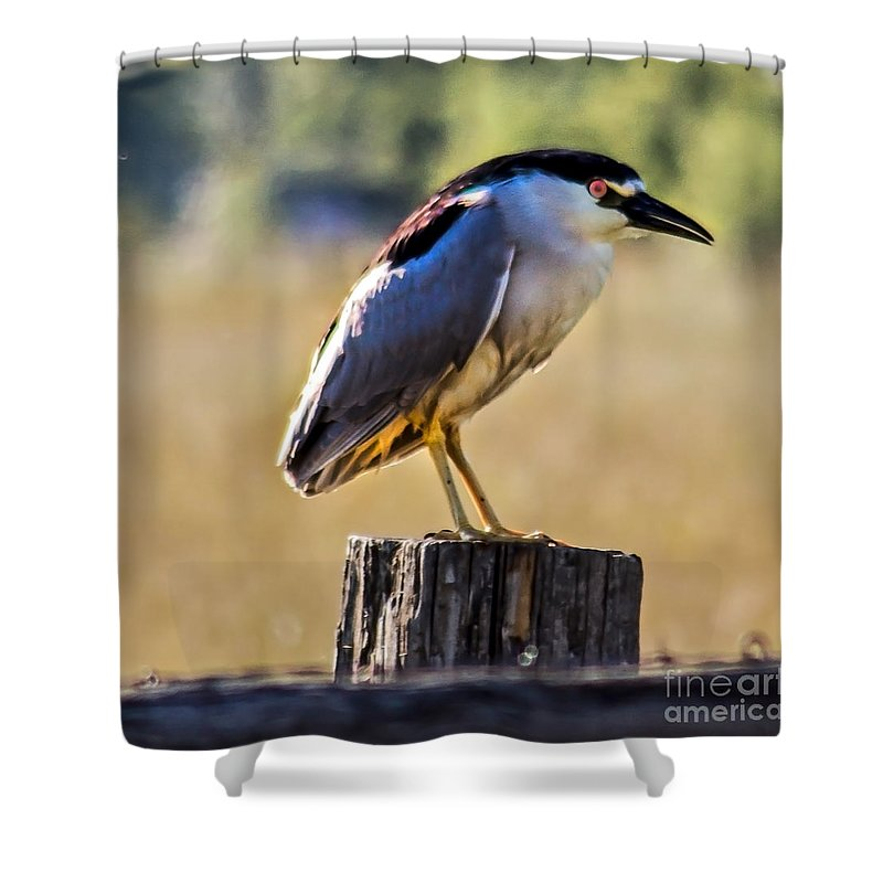 Birds Shower Curtain featuring the photograph Black-crowned Night Heron by Robert Bales