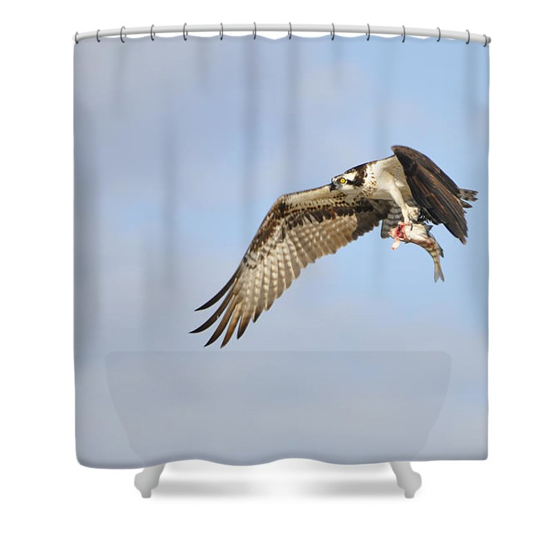 Osprey Shower Curtain featuring the photograph Osprey Lunch To Go I by Christine Stonebridge