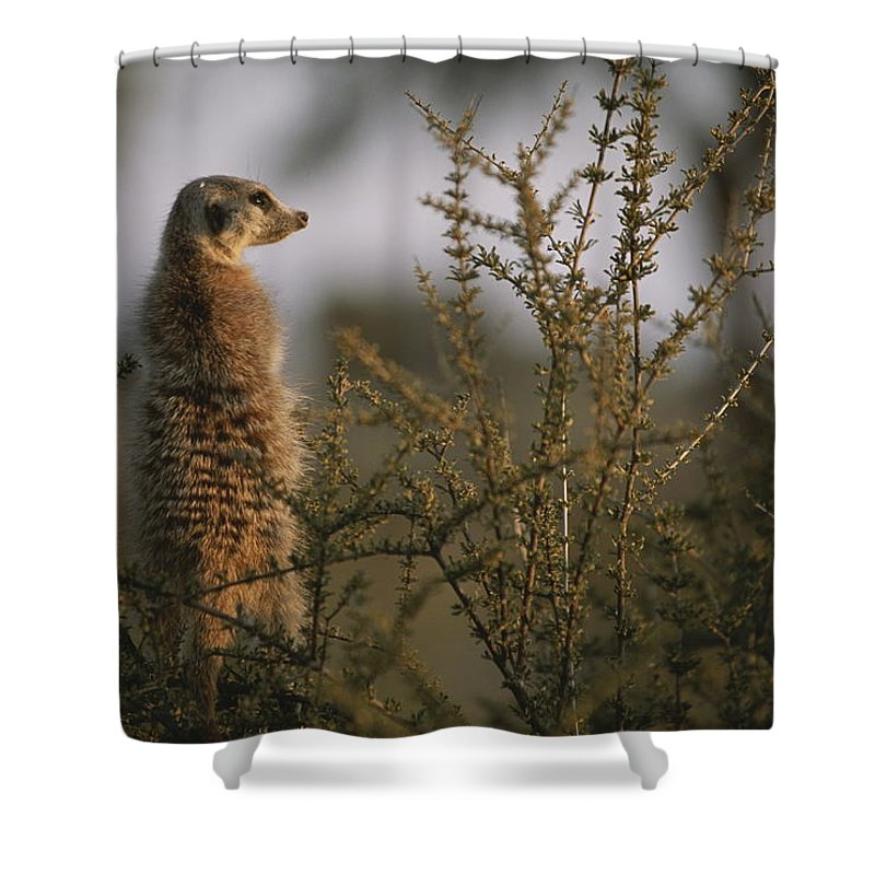 Africa Shower Curtain featuring the photograph A Meerkat Suricata Suricatta Stands by Mattias Klum