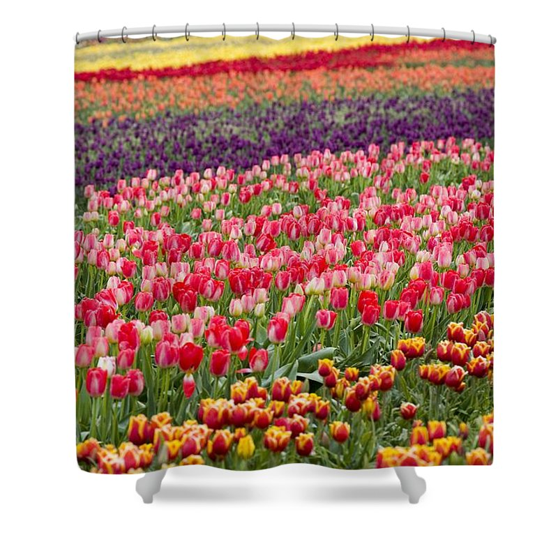 America Shower Curtain featuring the photograph A Tulip Field by Craig Tuttle
