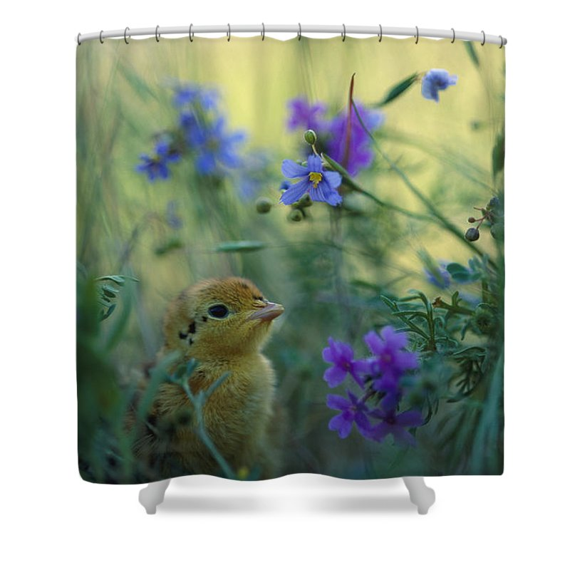 Animals Shower Curtain featuring the photograph An Attwaters Prairie Chick Surrounded by Joel Sartore