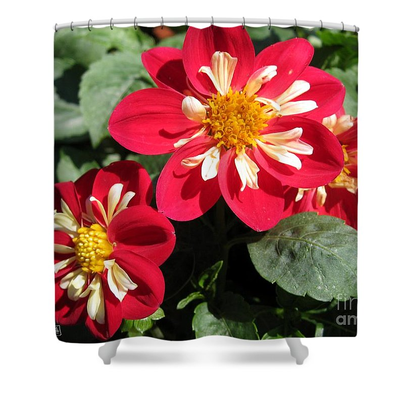Dwarf Shower Curtain Featuring The Photograph Dahlia From Collarette Dandy Mix By J McCombie