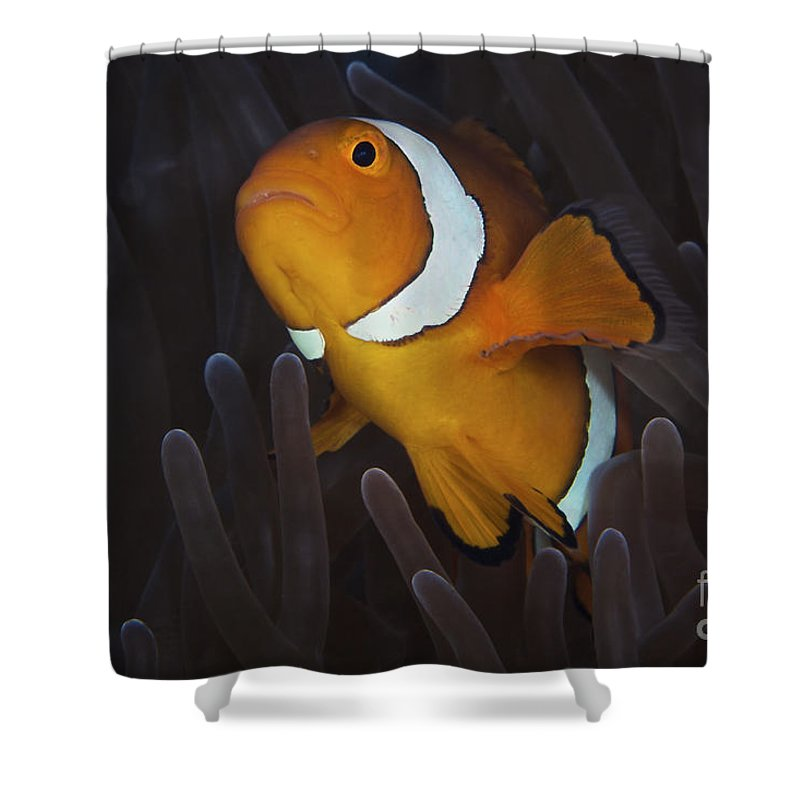 Swimming Shower Curtain featuring the photograph False Ocellaris Clownfish In Its Host by Terry Moore