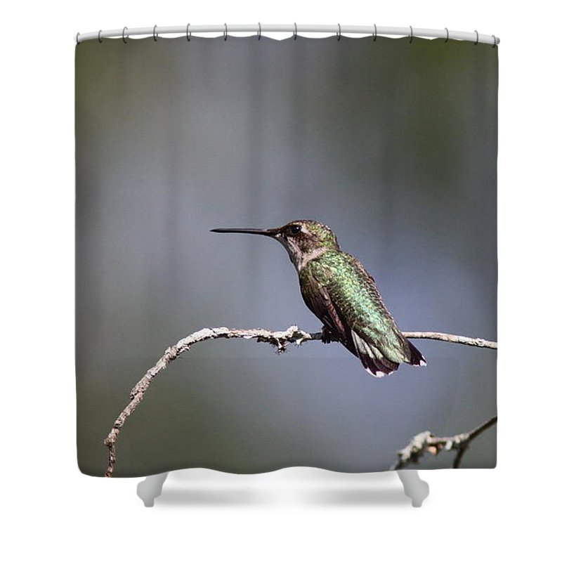 Hummingbird Shower Curtain featuring the photograph Feathers In Place by Travis Truelove