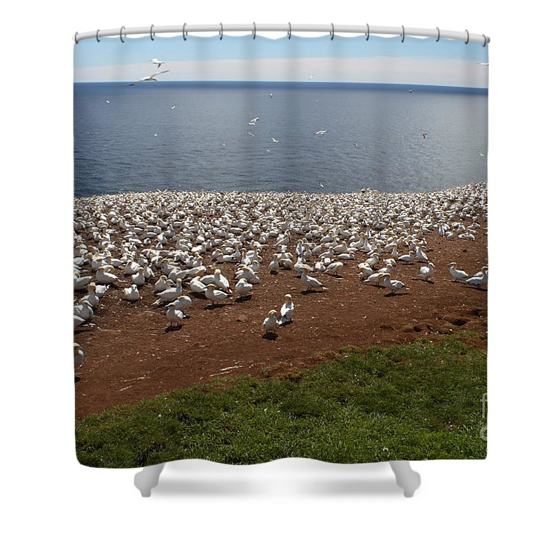 Northern Gannet Shower Curtain featuring the photograph Gannet Colony by Ted Kinsman