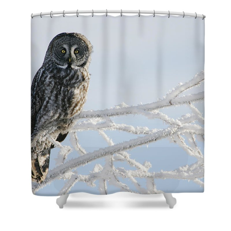 Light Shower Curtain featuring the photograph Great Grey Owl, Northern British by Robert Postma
