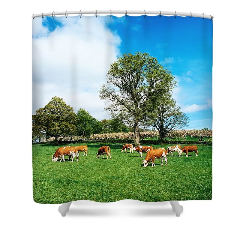Bullock Shower Curtain featuring the photograph Hereford Bullocks by The Irish Image Collection