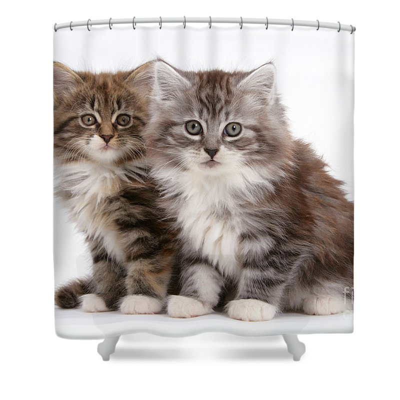 Animal Shower Curtain featuring the photograph Maine Coon Kittens by Mark Taylor