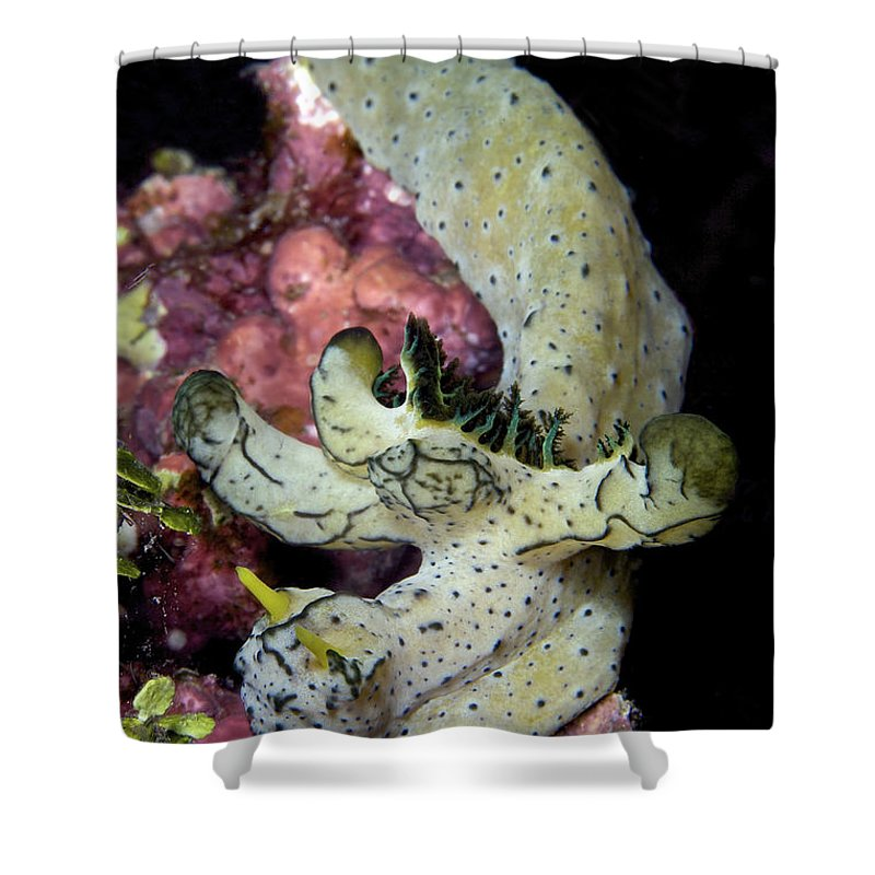 Aegires Serenae Shower Curtain featuring the photograph Nudibranch Feeding On Algae, Papua New by Terry Moore