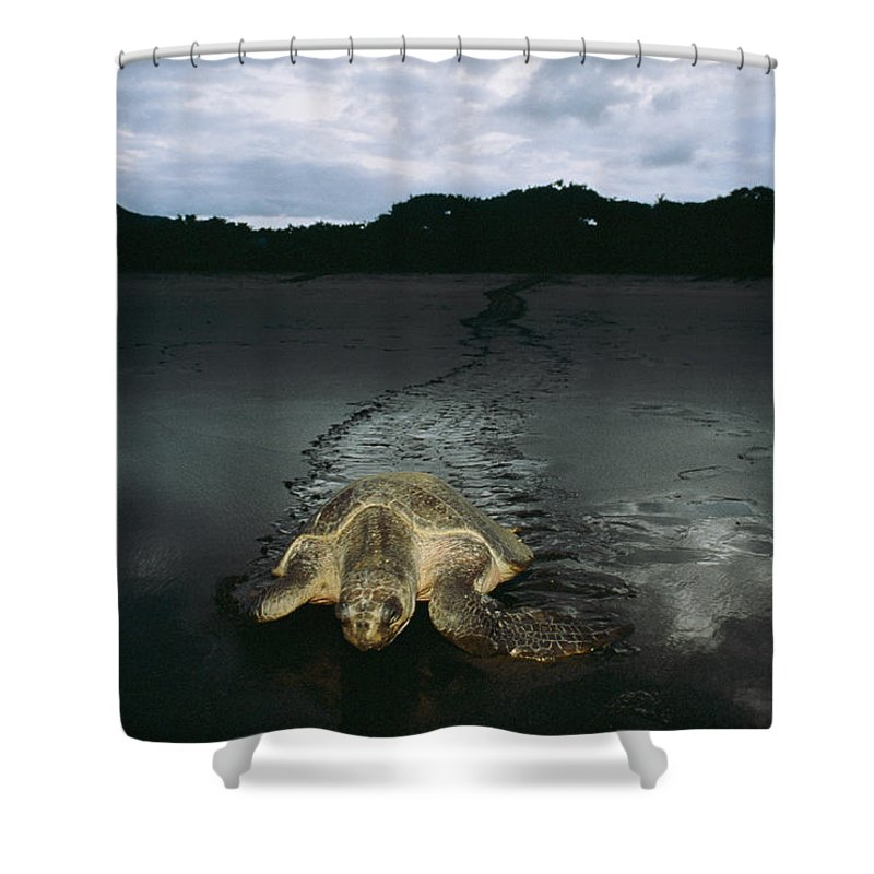 Costa Rica Shower Curtain featuring the photograph Pacific Ridley Turtle Lepidochelys by Steve Winter
