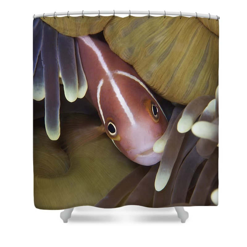 Sea Anemone Shower Curtain featuring the photograph Pink Skunk Clownfish In Its Host by Terry Moore
