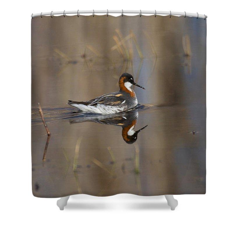 Alaska Shower Curtain featuring the photograph Rednecked Phalarope by Doug Lloyd