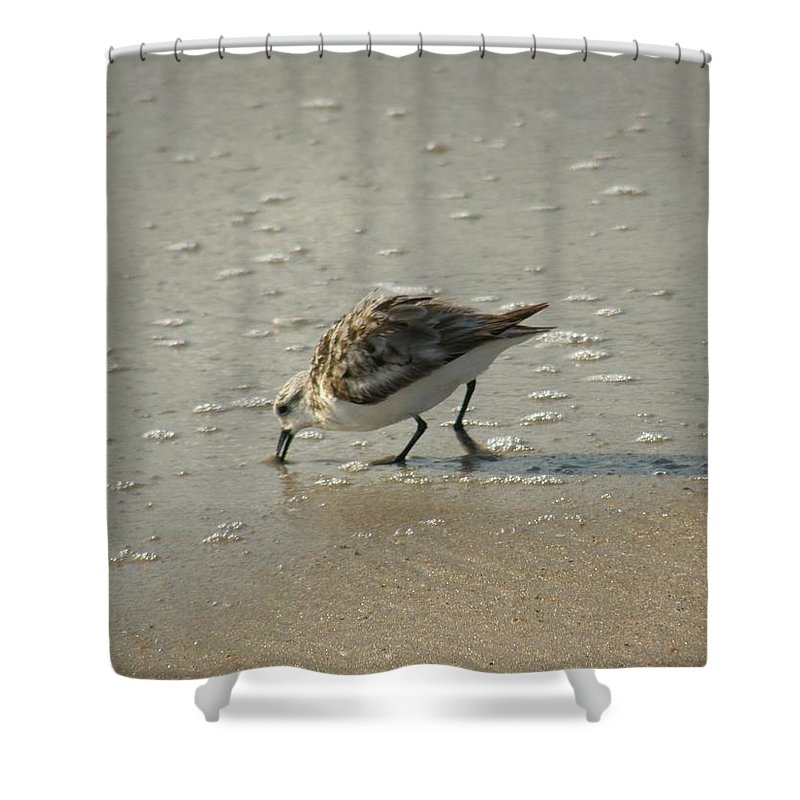 Sandpiper Shower Curtain featuring the photograph Sandpiper Hunting On Assateague Island Maryland by Sven Migot