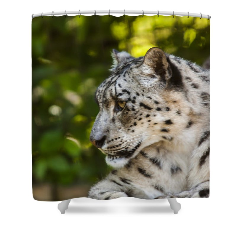 Dawn Oconnor Dawnoconnorphotos@gmail.com Shower Curtain featuring the photograph Snow Leopard by Dawn OConnor