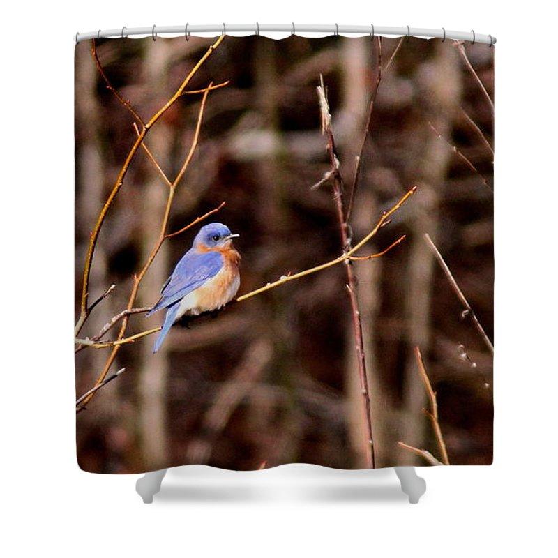 Eastern Bluebird Shower Curtain featuring the photograph Standout by Travis Truelove