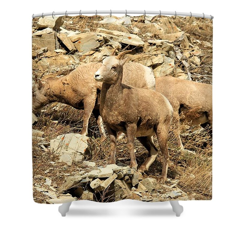 Big Horn Sheep Shower Curtain featuring the photograph The Lookout by Adam Jewell