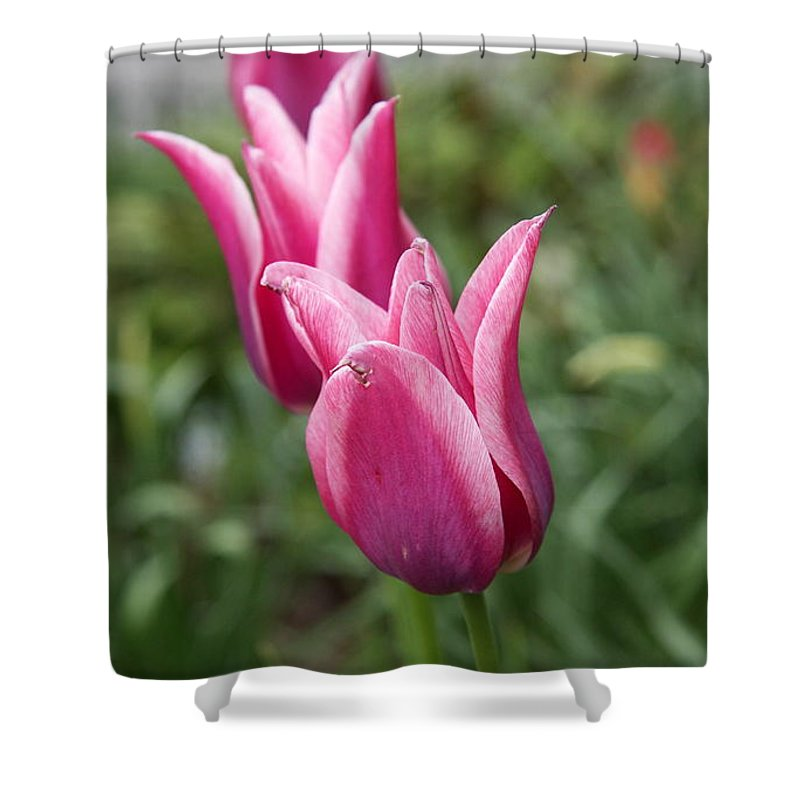 Tulips Shower Curtain featuring the photograph Three Tulips by Christiane Schulze Art And Photography