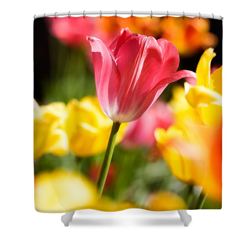 Backdrop Shower Curtain featuring the photograph Tulips by Kati Finell