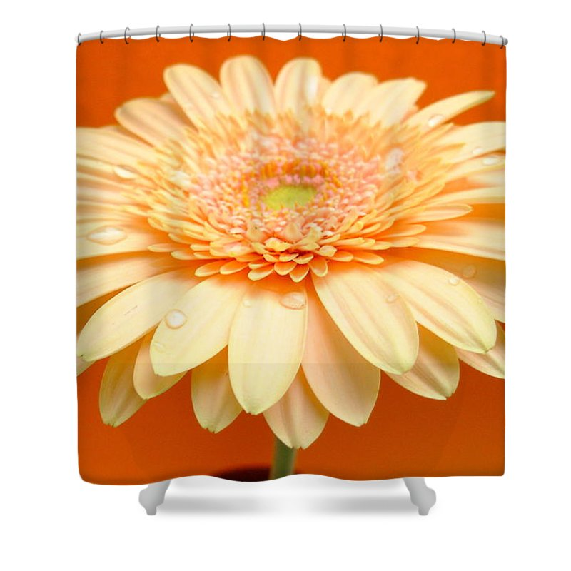 Gerbera Photographs Shower Curtain featuring the photograph 1521-003 by Kimberlie Gerner
