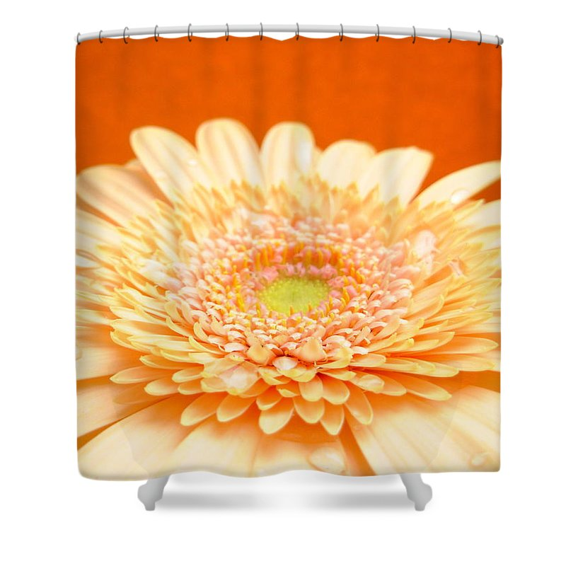 Gerbera Photographs Shower Curtain featuring the photograph 1523-001 by Kimberlie Gerner