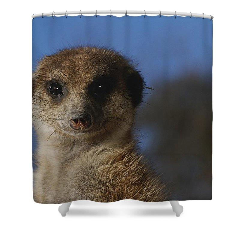 Animals Shower Curtain featuring the photograph A Close View Of A Meerkat Suricata by Mattias Klum