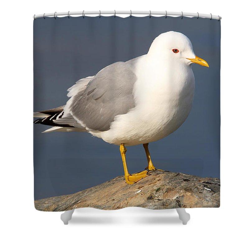 Doug Lloyd Shower Curtain featuring the photograph Mew Gull by Doug Lloyd