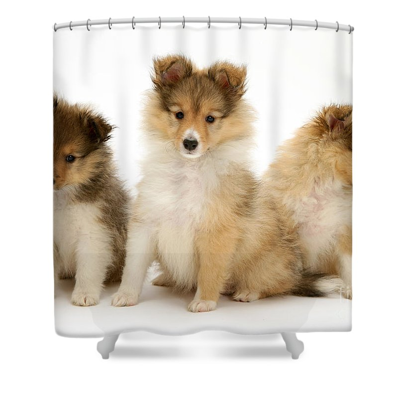 Sheltie Puppies Shower Curtain For Sale By Jane Burton