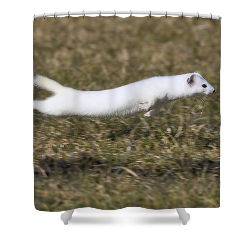 Short-tailed Weasel Mustela Erminea Shower Curtain for Sale by ...