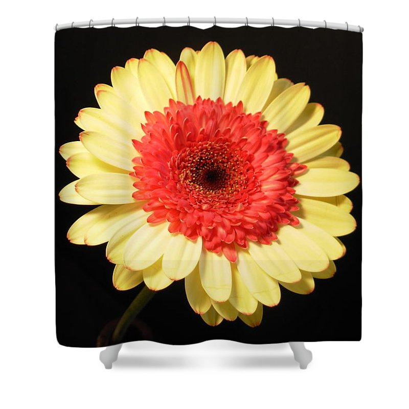 Gerbera Photographs Shower Curtain featuring the photograph 2973-001 by Kimberlie Gerner