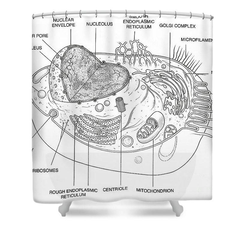 Animal cell diagram shower curtain for sale by science source science shower curtain featuring the photograph animal cell diagram by science source ccuart Gallery