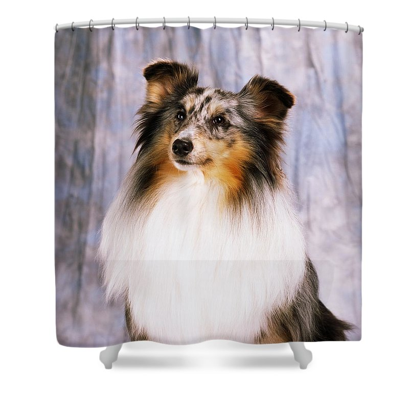 Color Shower Curtain featuring the photograph Shetland Sheepdog Portrait Of A Dog by The Irish Image Collection