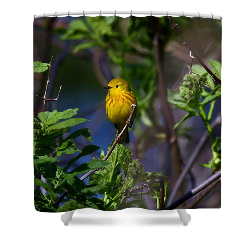 Doug Lloyd Shower Curtain featuring the photograph Yellow Warbler by Doug Lloyd
