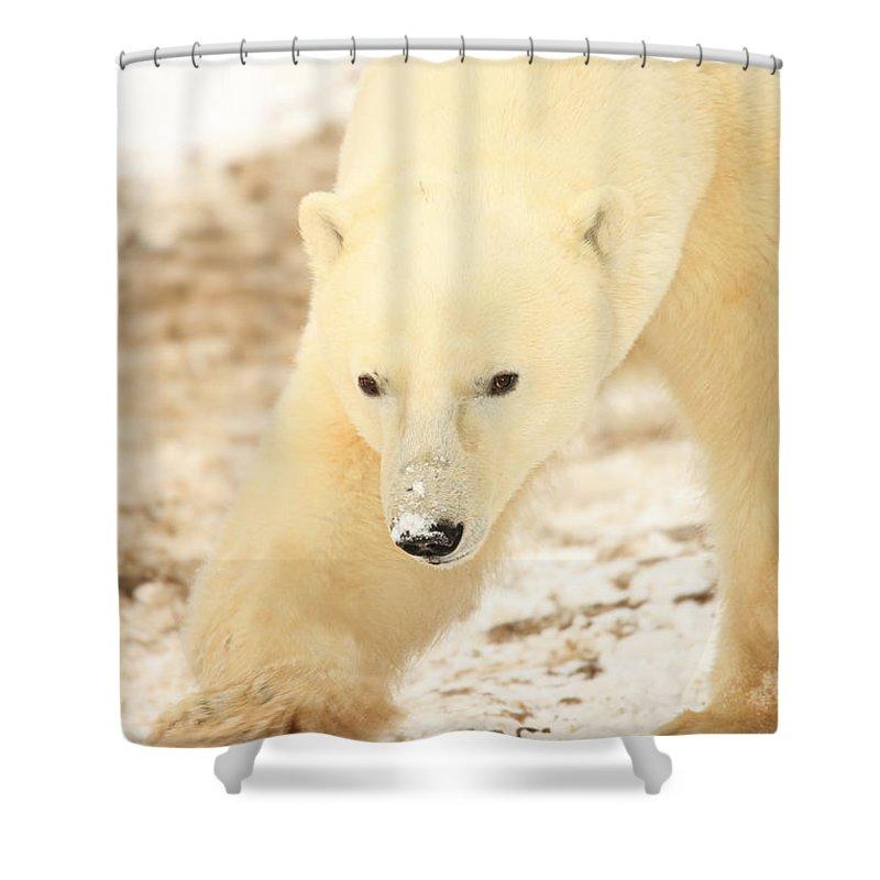 Light Shower Curtain featuring the photograph Polar Bear, Churchill, Manitoba by Robert Postma