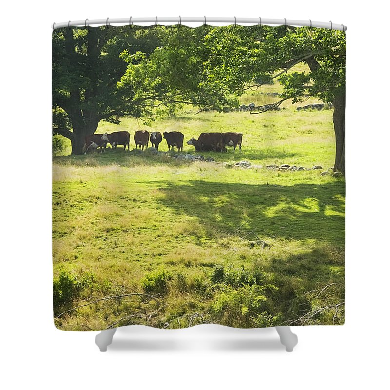 Cow Shower Curtain featuring the photograph Cows Grazing On Grass In Farm Field Summer Maine by Keith Webber Jr