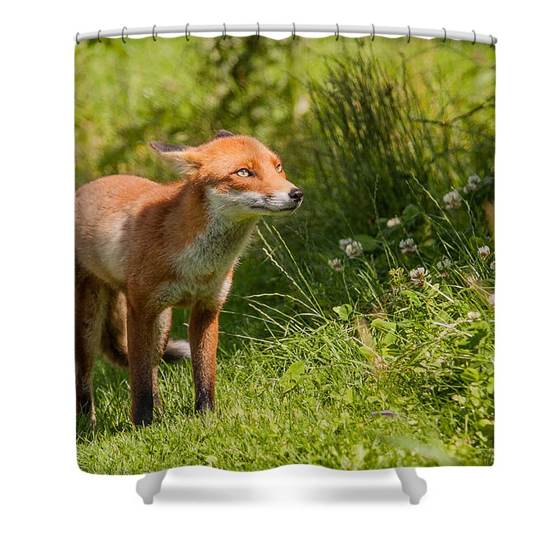 British Wildlife Centre Shower Curtain featuring the photograph A British Red Fox by Dawn OConnor