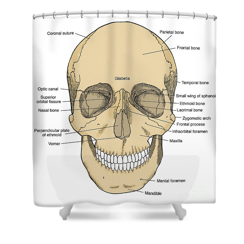 Illustration Of Anterior Skull Shower Curtain for Sale by Science Source