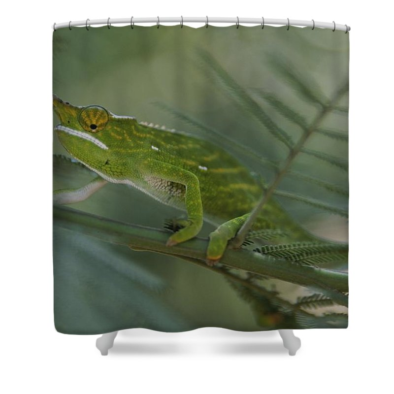 Africa Shower Curtain featuring the photograph A Chameleon With Yellow Eyes Balances by Michael Melford