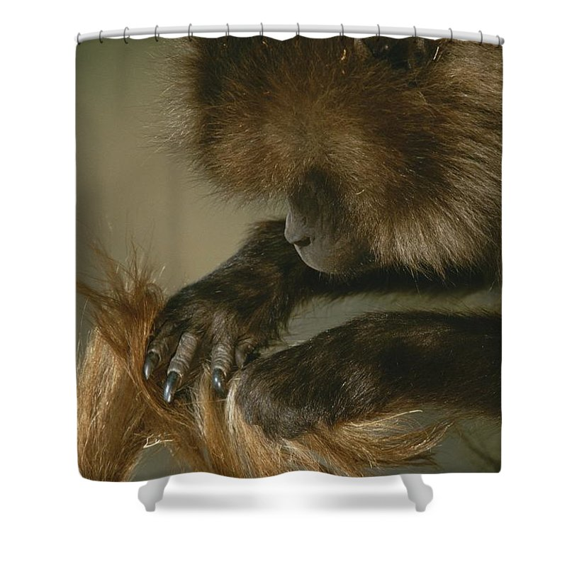 Animals Shower Curtain featuring the photograph A Female Gelada, Theropithecus Gelada by Michael Nichols