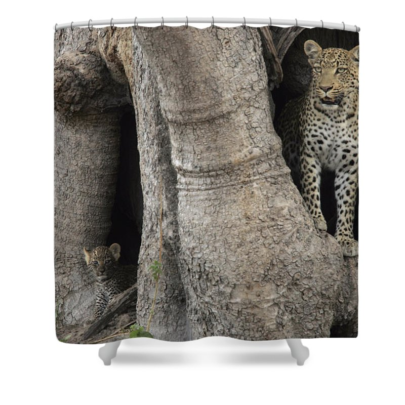 Okavango Delta Shower Curtain featuring the photograph A Leopard And Cub Inside A Giant Baobab by Beverly Joubert