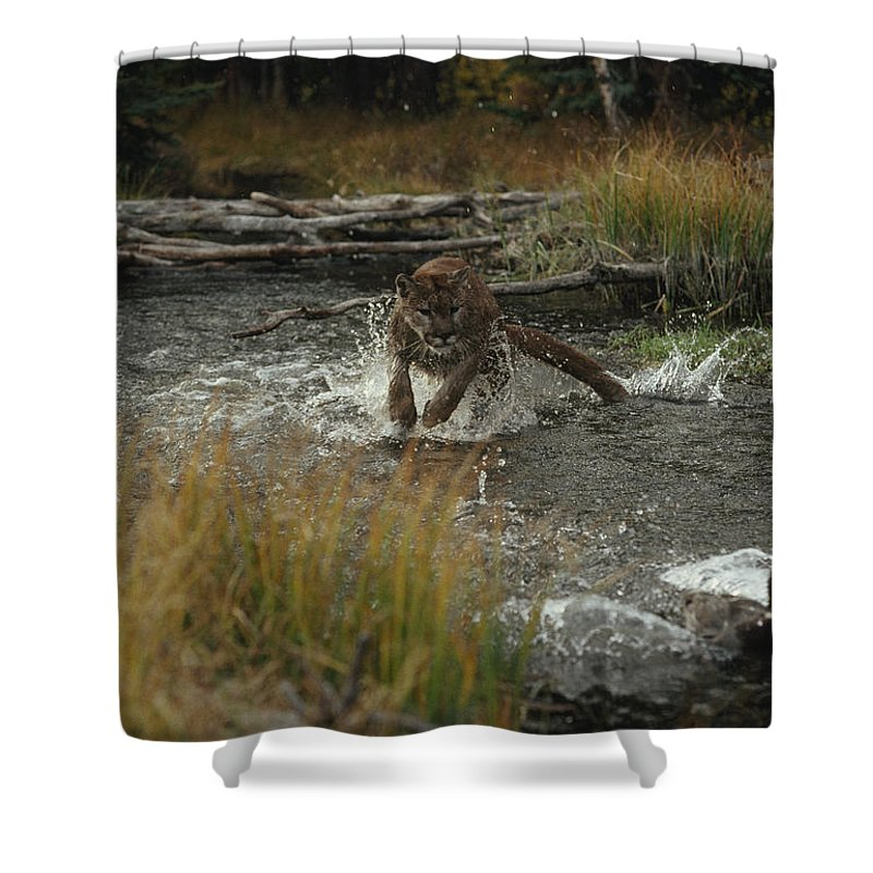 North America Shower Curtain featuring the photograph A Mountain Lion, Felis Concolor, Hunts by Jim And Jamie Dutcher