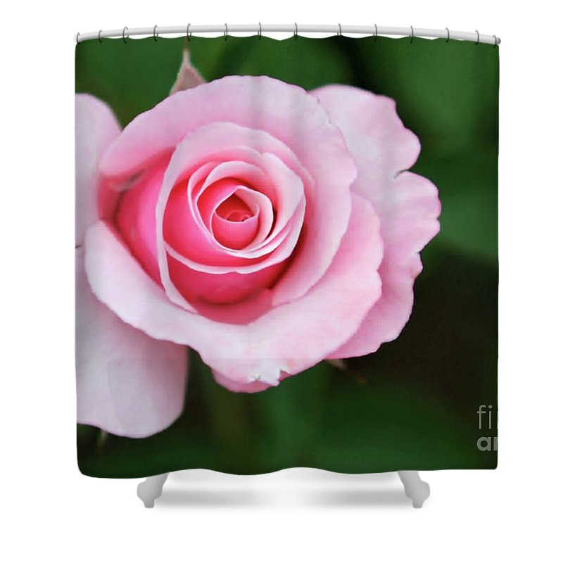 Pink Shower Curtain featuring the photograph A Pretty Pink Rose by Sabrina L Ryan