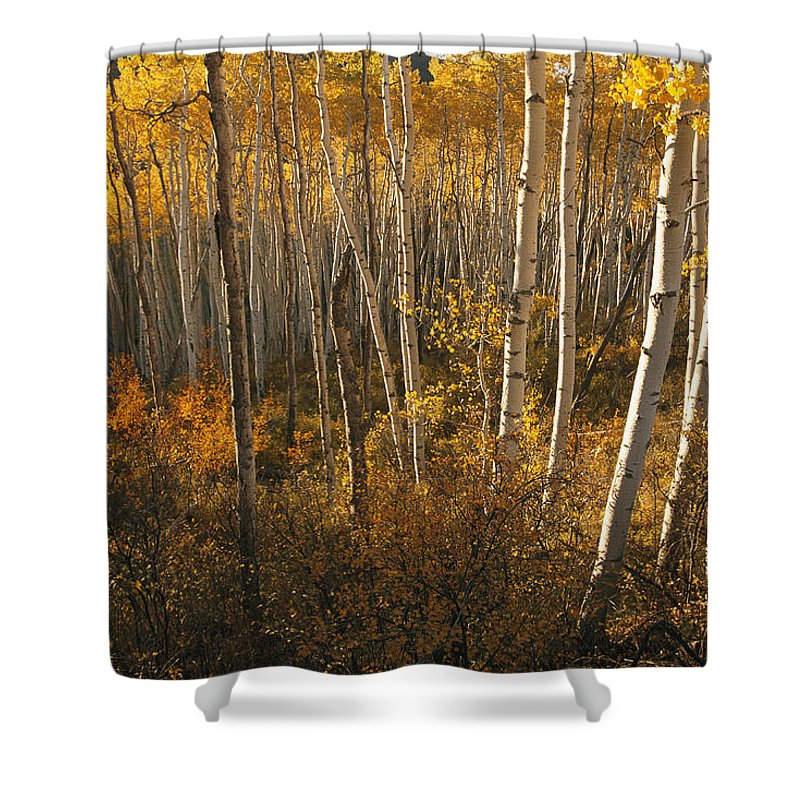 Scenes And Views Shower Curtain featuring the photograph A Stand Of Aspen Trees Displaying by Melissa Farlow
